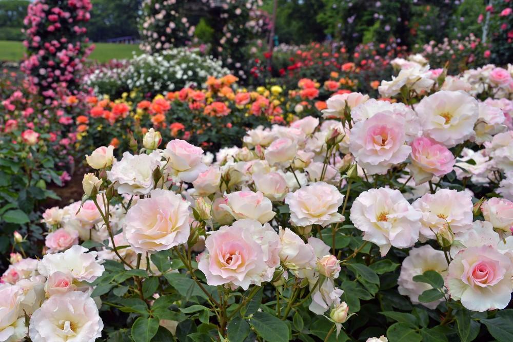 「福豚の里とんとん広場」&「ぐんまフラワーパーク」〜豚と薔薇な週末